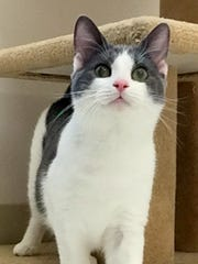 CV is a 5-month-old gray-and-white kitten who has energy to spare! This cutie can be a little hesitant in new surroundings, but once he knows he can trust you, he warms up quickly. He just loves to purr. CV will make someone an excellent four-legged friend.
