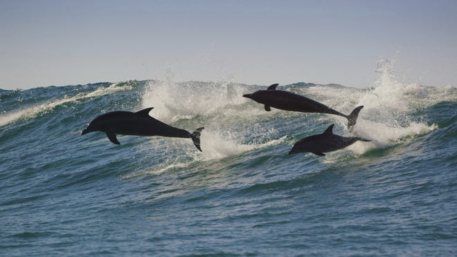 """Indo-Pacific bottlenose dolphins appear in  """"Planet Earth: A Celebration."""""""