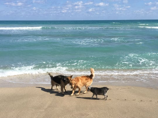 Honey (center) enjoys playing ball at dog-friendly Walton Rocks Beach in St. Lucie County with canine friends Jazz (left) and Bunny (right.) Indian River Shores is considering amending the town's current leash law to permit unleashed dogs on town beaches to minimize any inconvenience to the public.