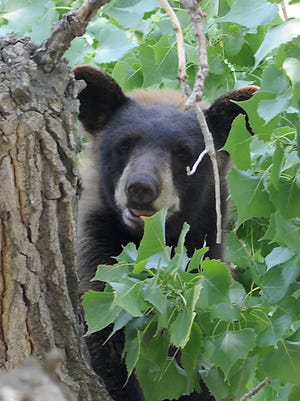 A young black bear rests on a branch of a cottonwood tree in Loveland in summer of 2013.