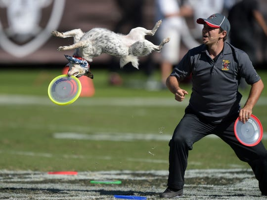 Frisbee stunt dog and trainer Chris Perondi performs at halftime of the NFL game between the Arizona Cardinals and the Oakland Raiders at O.co Coliseum.