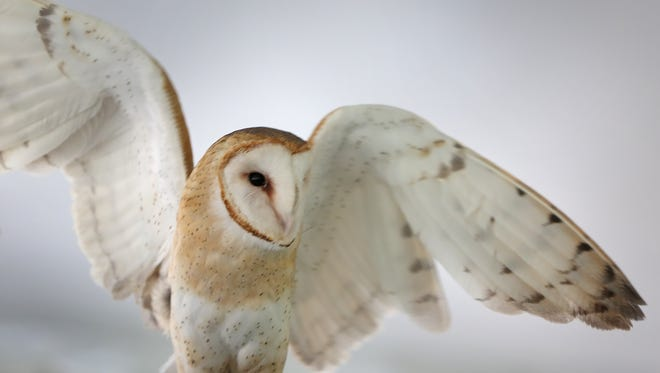 """A barn owl stretches his wings during the American Eagle Foundation """"Birds of Prey"""" presentation at Plainfield's Sodalis Park, sponsored by the Duke Energy Foundation as a celebration of Earth Day, Friday, April 22, 2016.  In addition to the performance, which was open to the community, Duke Energy employees assembled bird feeders and distributed them and bird food.  They also removed invasive honeysuckle and repaired walking paths in the park."""