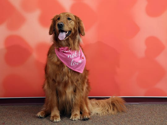 Brandy the Golden Retreiver poses for Valentine's Day at Crown Veterinary Specialists in Lebanon. February 6, 2016, Lebanon, NJ.