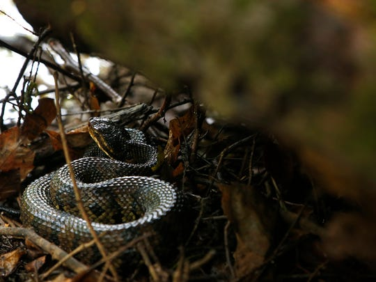 A cottonmouth snake, also known as a water moccasin, sits coiled under a log along the Wolf River in 2016. The semiaquadic venomous pit viper gets it's name from the coloration inside it's mouth that it will show when threatened.