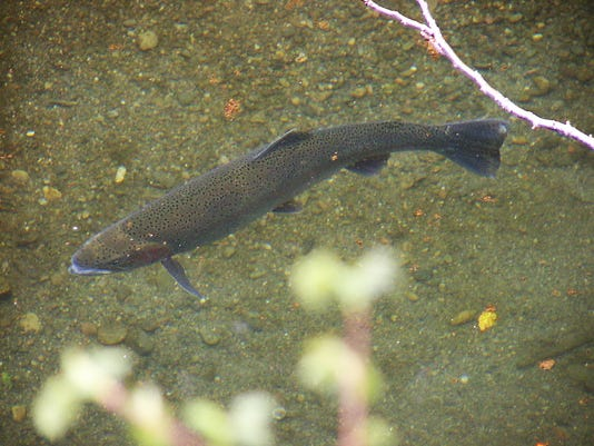 Pajaro River Steelhead (Uvas Creek) 3-15-12 (2).jpg