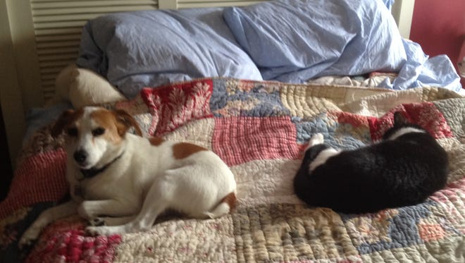 Toby the Jack Russell sharing the bed with Cookie in July.