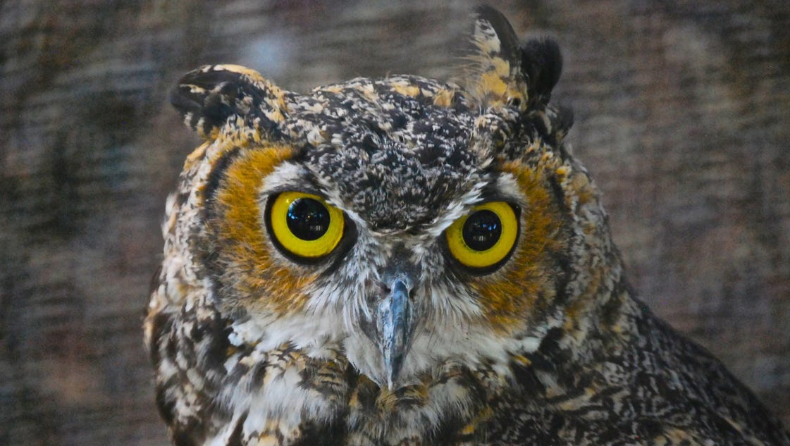 Ask Clay: Why do we think owls are wise?