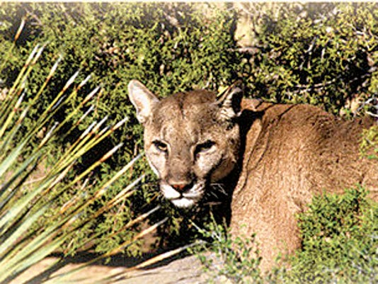 Cougars are one of nature's most effective predators. One was spotted in residential area of Mescalero.