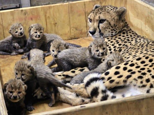 Cheetah Eight Cubs
