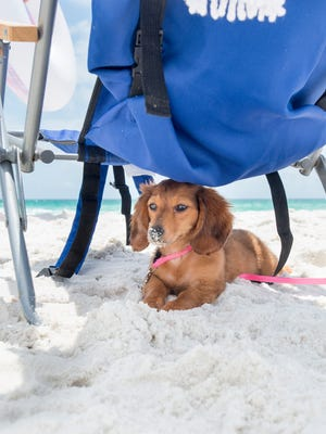 A dachshund named Gemma relaxes in the shade of a chair at the Pensacola Beach Dog Park on Wednesday, May 23, 2018.