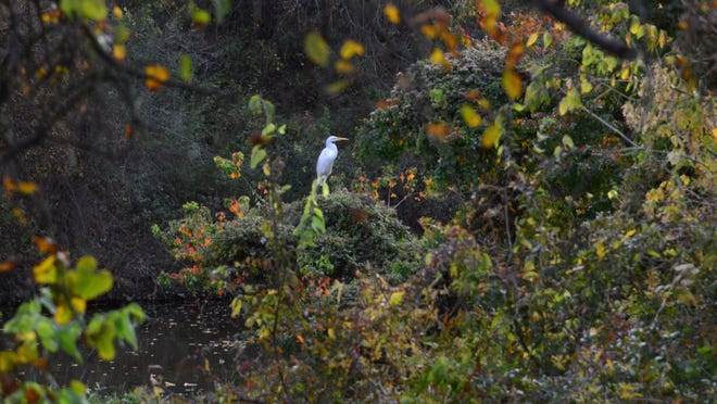 A white heron perches among fall foliage on Nov. 10 by Brushy Creek on the Brushy Creek Regional Trail near Champion Park.