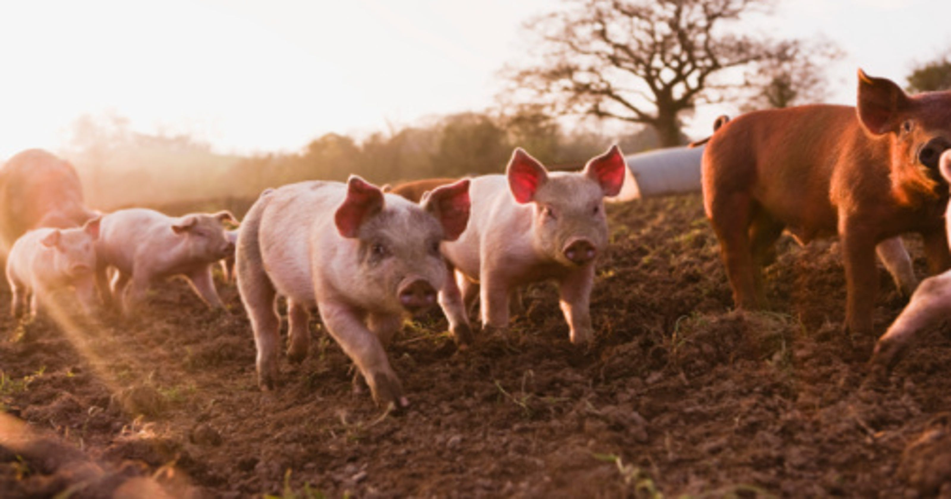 States killing the most animals for food