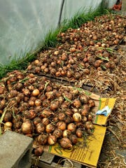 Onions cure in a hoop house at Emerald Meadows Family Farm.