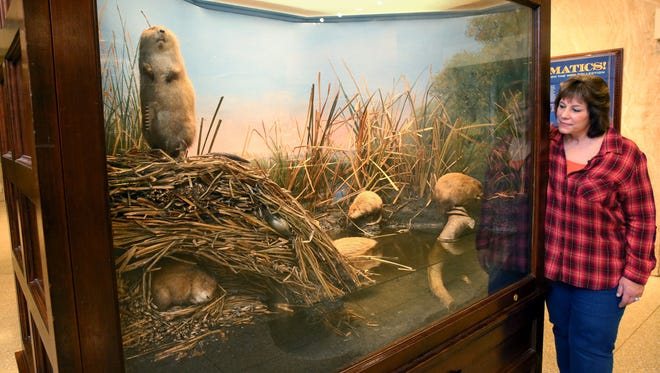 Wendy Christensen, the Milwaukee Public Museum's chief taxidermist, checks out the musem's muskrat display, crafted in 1890 by legendary taxidermist Carl Akeley.