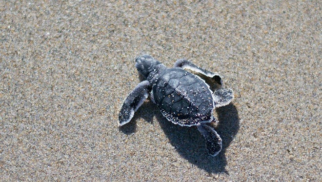 Sea turtle nesting season along the Treasure Coast runs from March 1 to Nov. 15. Leatherbacks are usually the first species to visit local beaches to lay eggs, followed by loggerheads and green sea turtles.