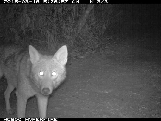 A trail camera gets a close-up of a coyote March 18 at Sanibel's Pond Apple Park. Coyotes have been digging up sea turtle nests on Sanibel and Captiva since 2011.