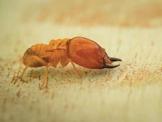 636596533452023708-termite.jpg