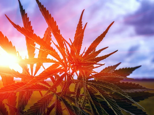 marijuana bush on a background of sky at su