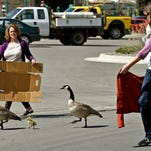 Noreen Humes, left, and Danielle Lattuga herd two geese and a gosling toward the Clark Fork River after the birds wandered into the downtown area in Missoula. The two birds and a baby waddling through a downtown Montana city stopped traffic and brought out the shutterbugs.