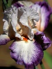 """""""Bold Fashion"""", a trial iris, blooms in Lisa Soliz's garden."""