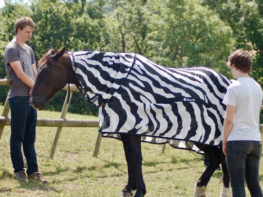 Scientists dressed horses in black-and-white Zebra type striped coats for part of their research.