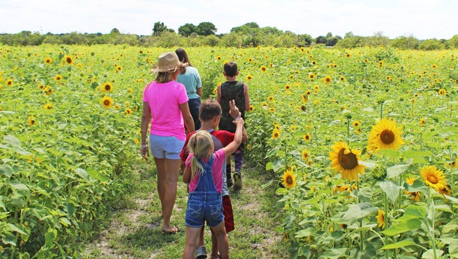 The Sledd's U-Pick sunflower maze features 4 acres of blossoming flowers.
