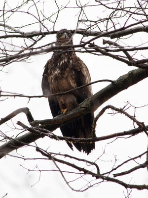 Juvenile bald eagle spotted April 6 in Two Rivers.
