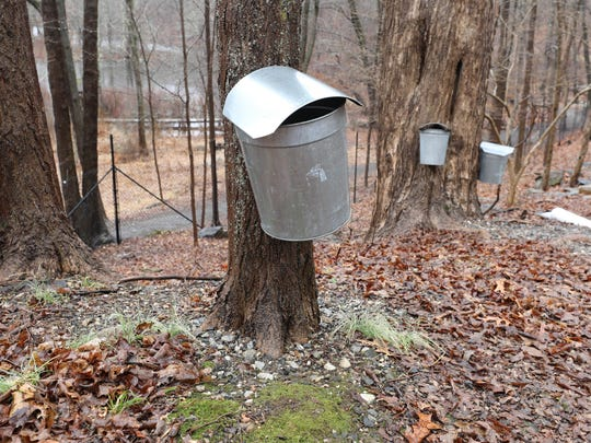 Sap collection buckets hang on Maple trees at Teatown