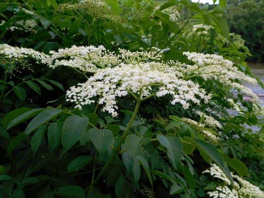 Common elderberry, Sambucus canadensis