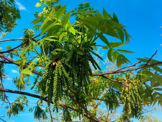 Bud break on a pecan tree on a 14,000-acre pecan farm