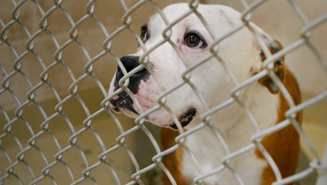 This 1-year-old bulldog and boxer mix was adopted from the San Angelo Animal Shelter in 2015.