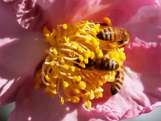 Winter's Star camellia was released by the US National Arboretum and is cold hardy to zone 6b and is treasured by honey bees.