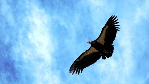 FILE: California Condor soaring above the Central Coast.