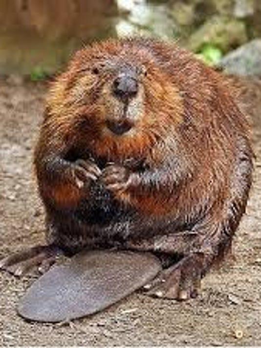 636038329386348830-beaver.jpg