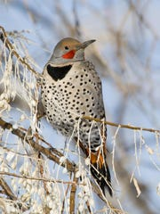 Northern flicker, a woodpecker, is one of the species that is now being seen in areas farther north than it once was, according to a study by National Audubon, which relies on Christmas bird counts by volunteers to learn about the status of birds.