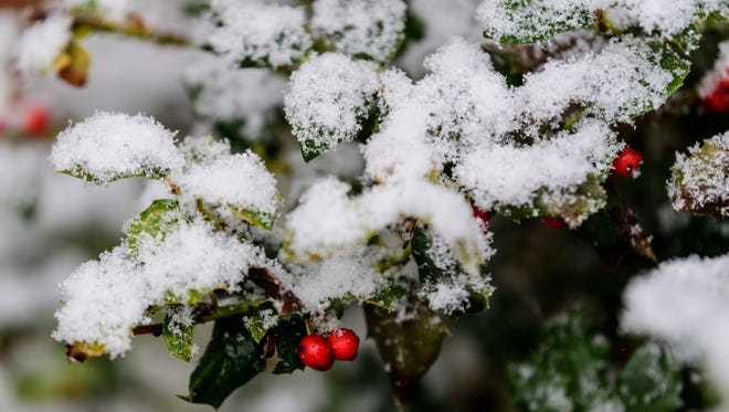 Snow blankets a small holly bush in downtown Evansville on Thursday afternoon. The temperature dropped to the low 30s early in the afternoon and the snow started to stick on grassy areas but roads were clear.