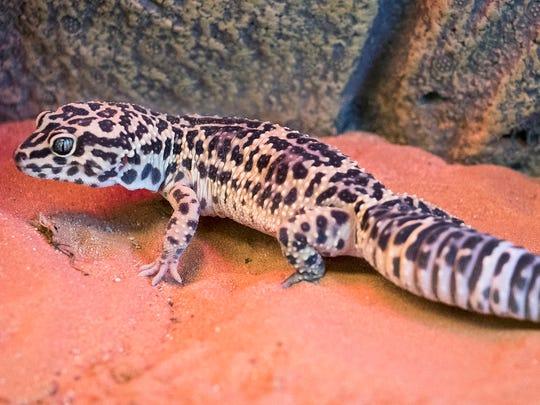 Battle, male leopard gecko. No. 97334.
