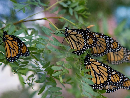 Monarch butterflies gathered at Lester Public Library