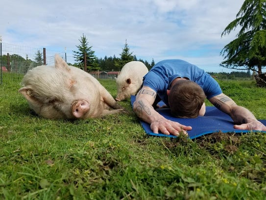 Pig Yoga is always a popular event at Lighthouse Farm