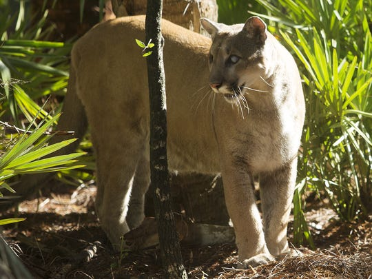 Andrew West/news-press.com Uno, the Florida panther