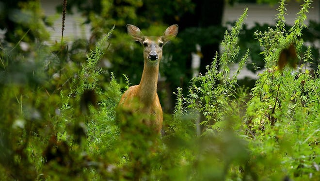Controlled bow-hunting of deer will begin in Hanover and other parts of New Jersey on Sept. 10.
