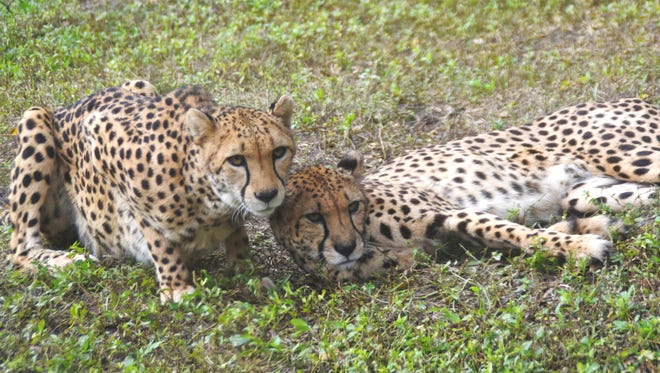 Two cheetahs from White Oak just made their debut at the Naples Zoo.
