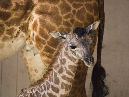 A giraffe born at the Santa Barbara Zoo Wednesday stands next to her mother. Her name will be chosen from four possibilities via popular vote.