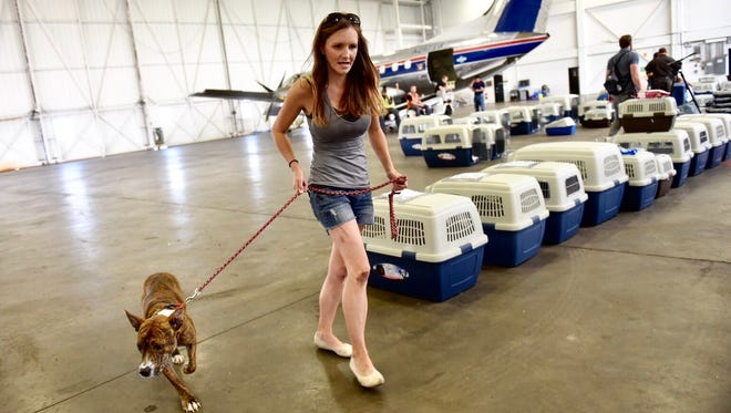 Jenna Dunn, volunteer at the Humane Society of Midland County, walks a dog to the organization's van on Friday, Sept. 15, 2017, at the Lansing airport. 140 animals from the hurricane were flown to Michigan.