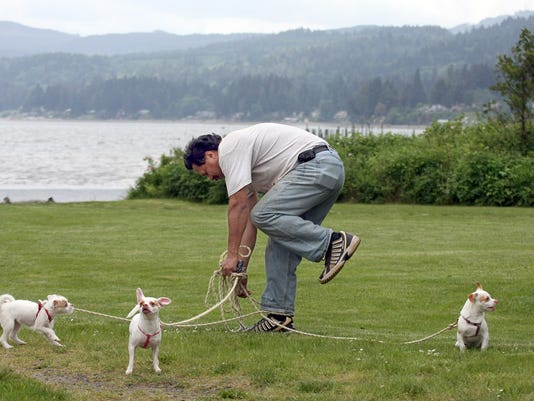 Wilfero Tario, of Silverdale, gets tangled in his dog leads as he walks his three chihuahuas at Old Mill Park in Silverdale on Friday. The dogs are from the left, Luba, Percy, and Nino.  (LARRY  STEAGALL / KITSAP SUN)