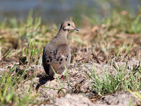 This year's South Texas Dove Season opens Sept. 14,