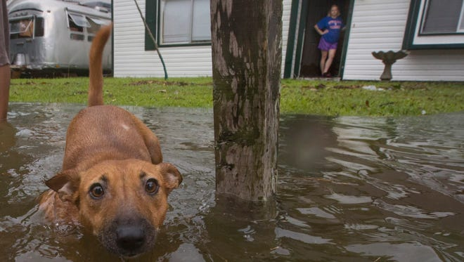 A dog walks out into flood waters in Bacliff, Texas, on Saturday.