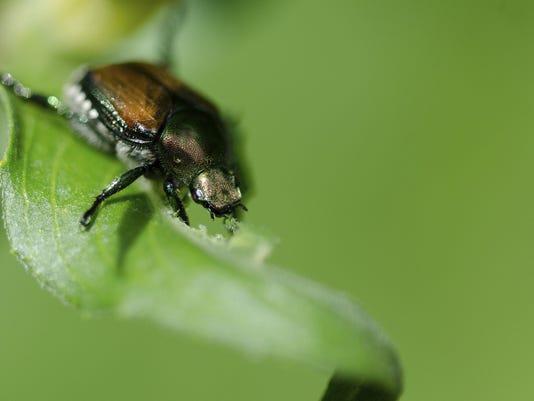 IMG_Japanese_beetle.jpg_1_1_GQ6UISRU.jpg_20140412.jpg