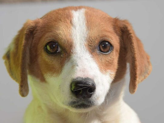 Chirrina - Female dachshund mix, adult. Intake date:1/13/2018