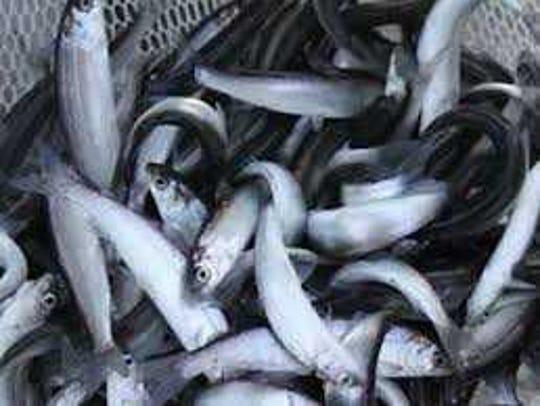Lake herring are held in a net.